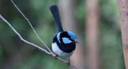 пароли, птицы, Австралия, исследование